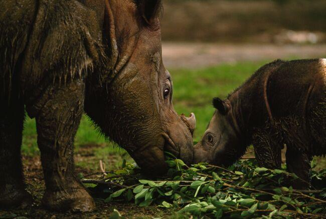 Le Dernier Rhinoceros De Sumatra Vivant En Malaisie Est Mort Geo Fr