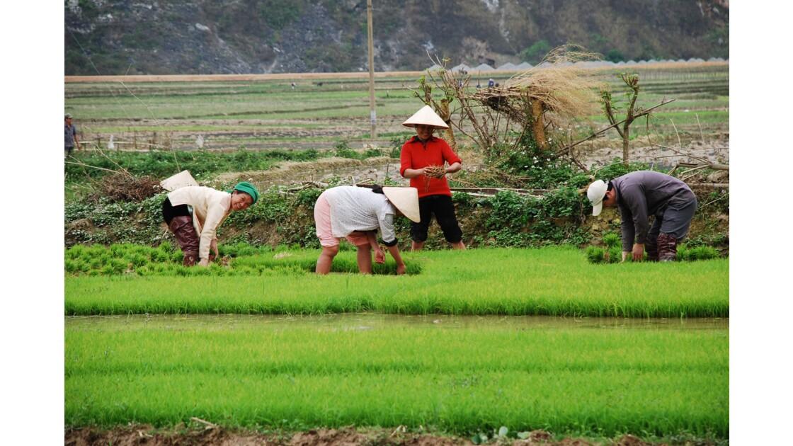 Repiquâge du riz
