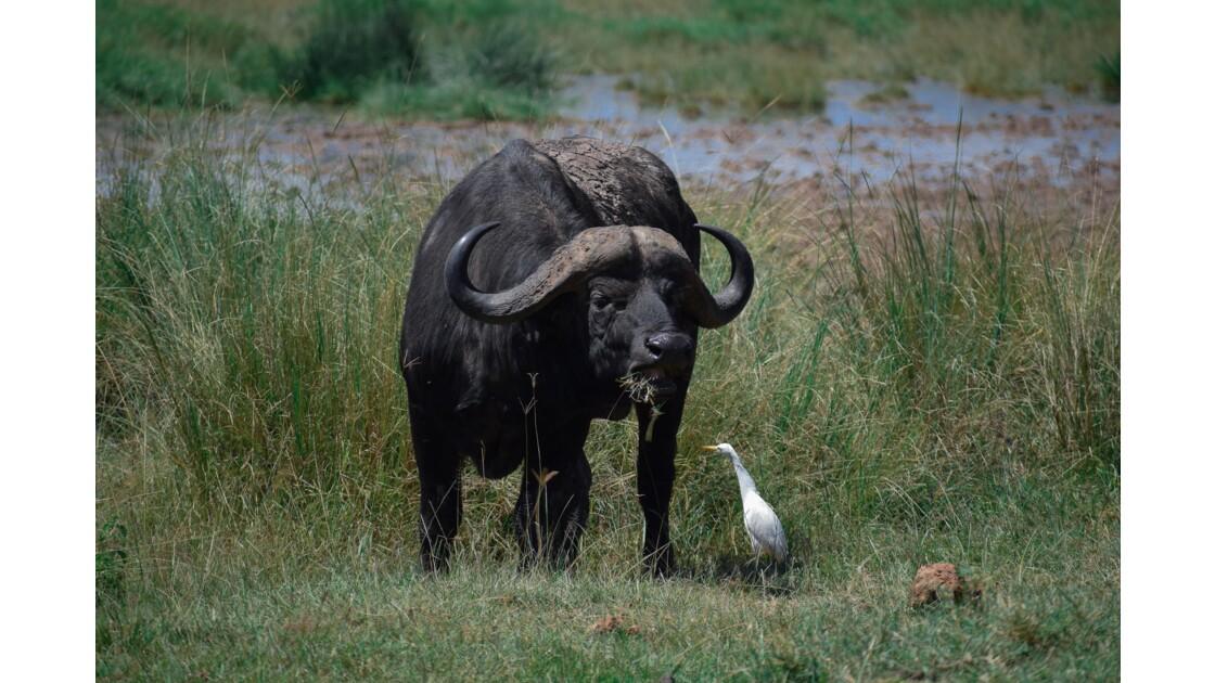 Buffle et son Piquecboeuf, Elementaita, Kenya