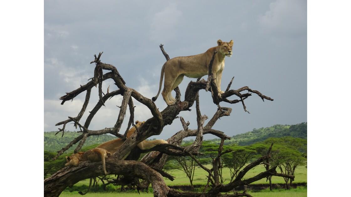 Lionnes dans un arbre