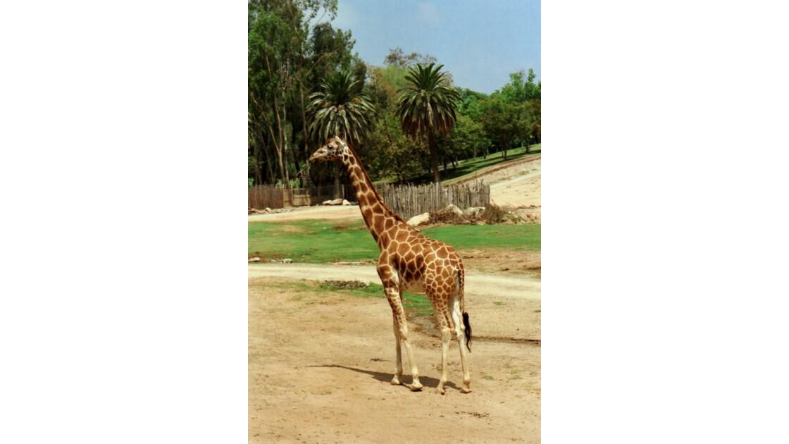 San Diego Zoo Safari Park Les Girafes 2