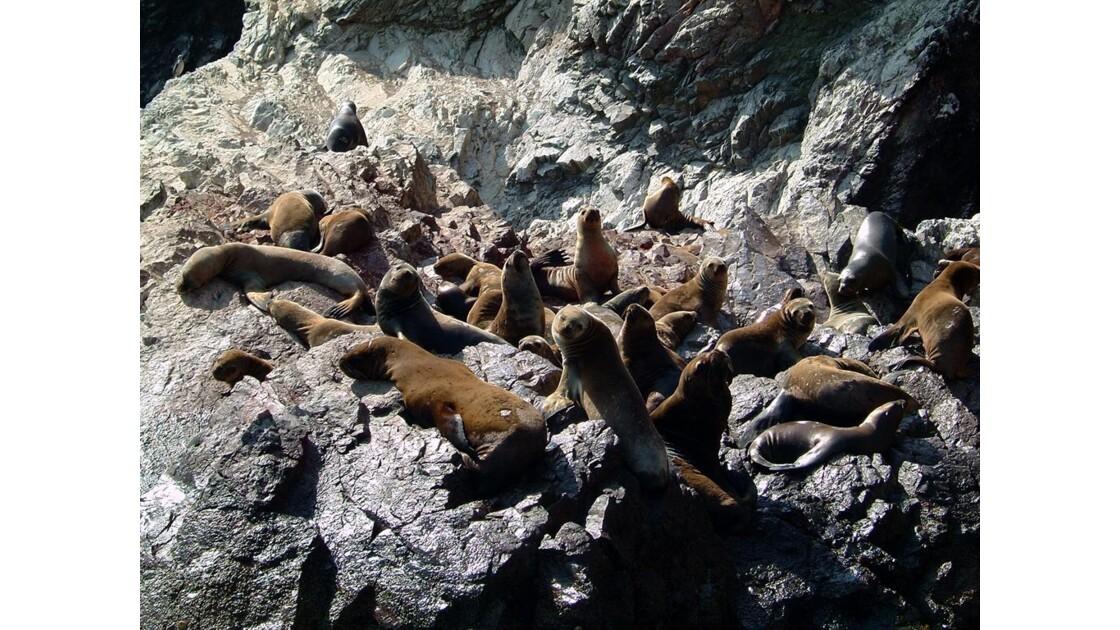 Isla ballestas - Colonie d'otaries