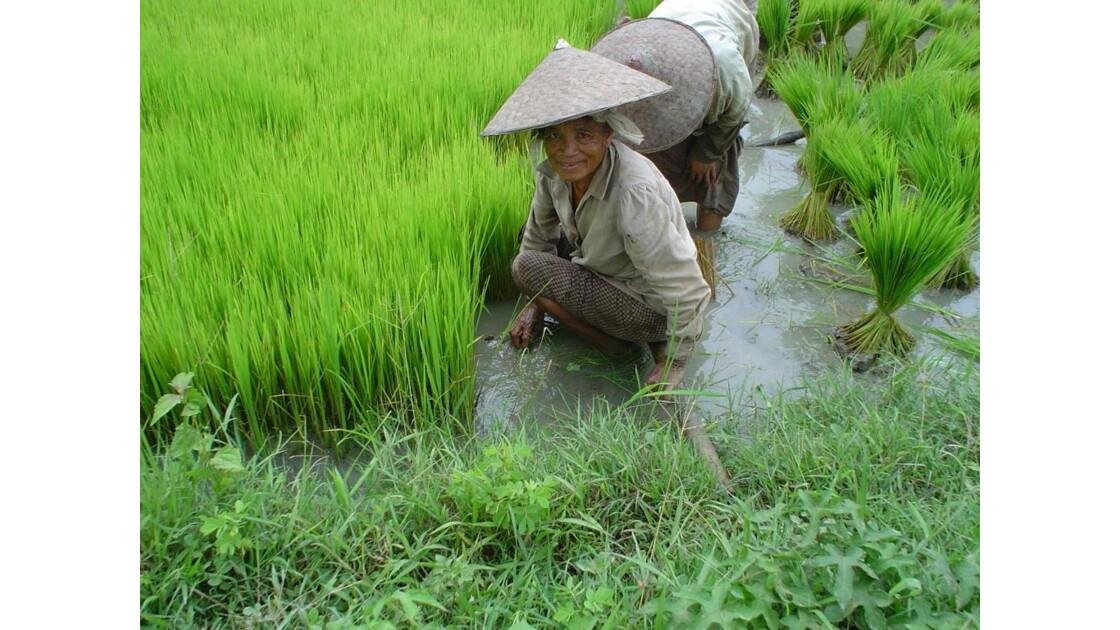 Travail des rizieres.