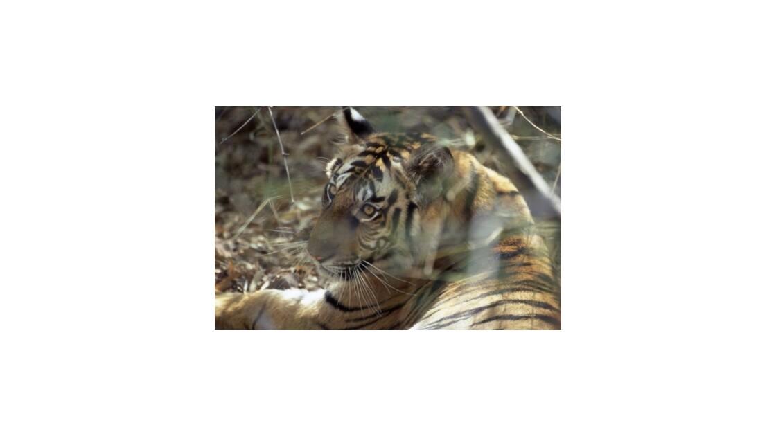 Sur la piste du tigre