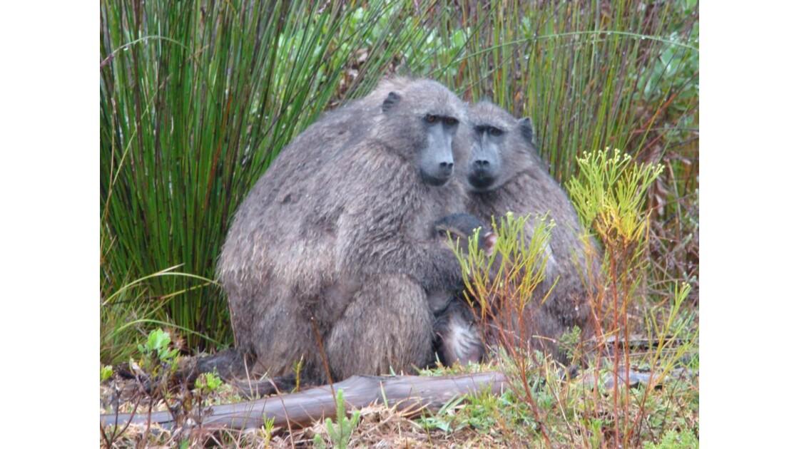 babouins mouillés