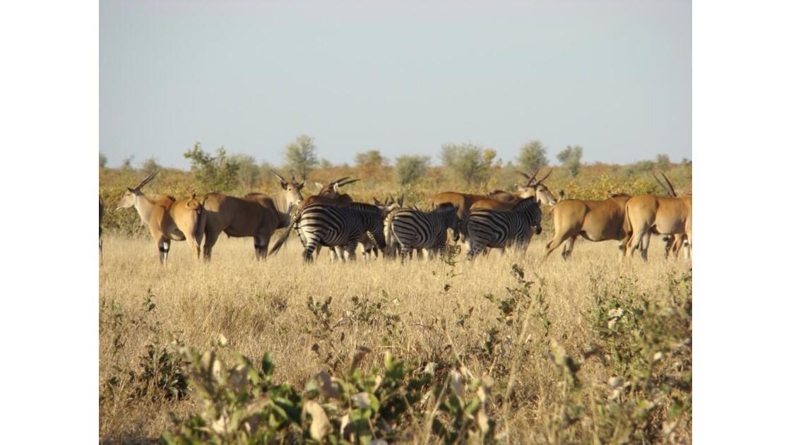 Elands du Cap avec des zèbres