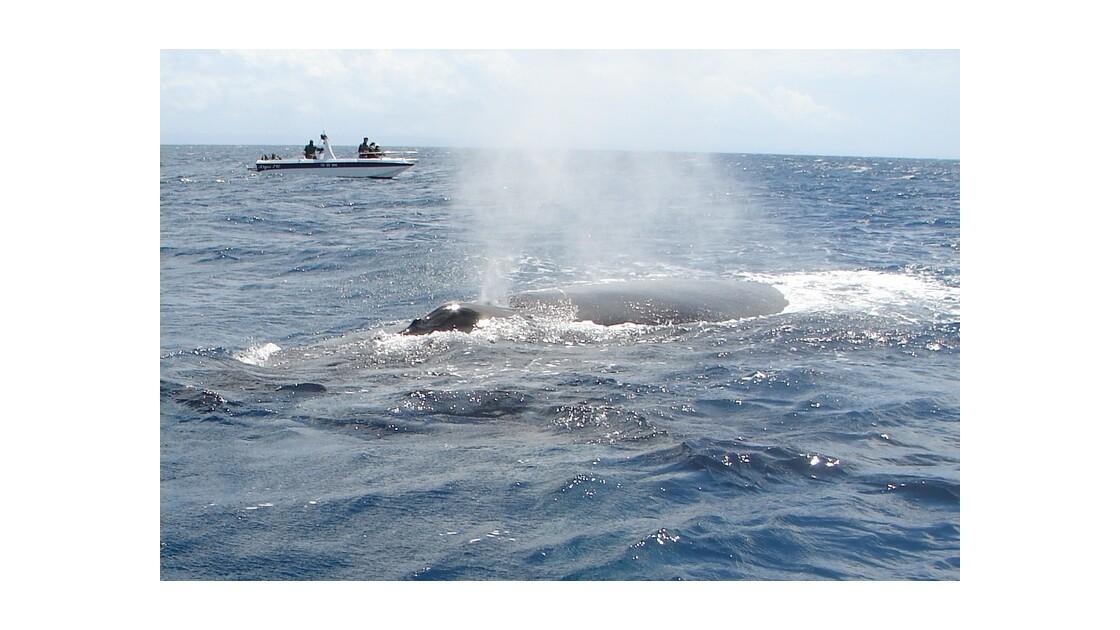 Baleine à bosse soufflant