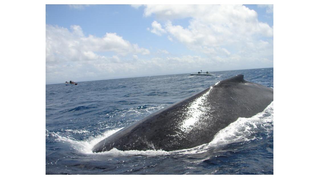 baleine à bosse à l'île Sainte-Marie
