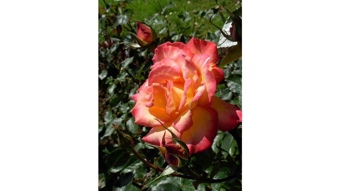 Rose_du_jardin.JPG