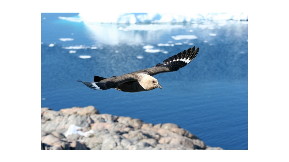 Skua antarctique
