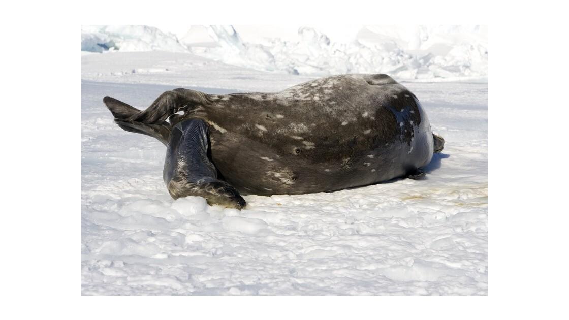 Mise bas Phoque de Weddell