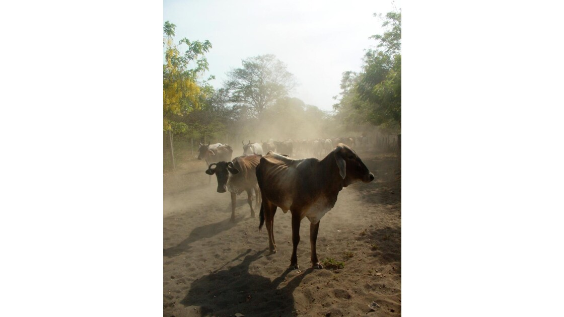 Vachette du Nicaragua