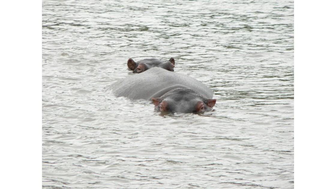hippo au kruger