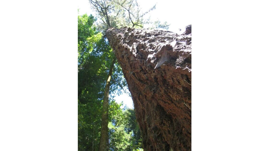 SEQUOIAS GEANTS (CALIFORNIE)