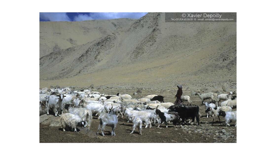 Les chèvres Pashmina