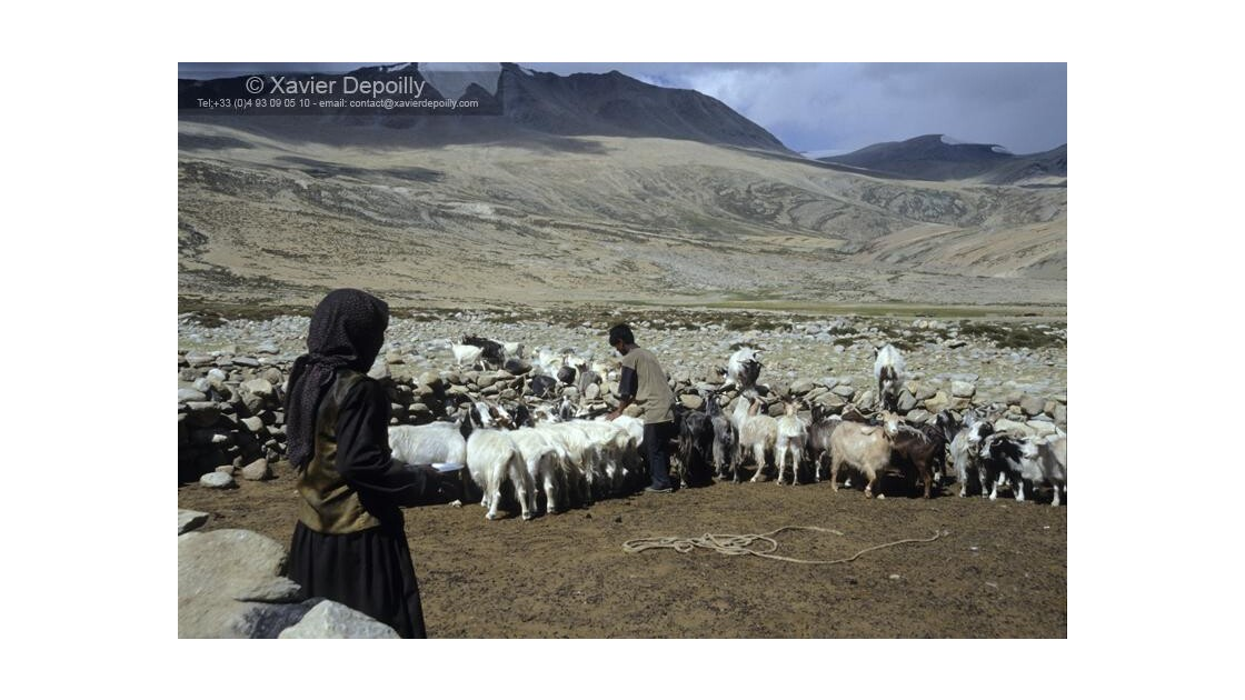 Les chèvres Pashminas