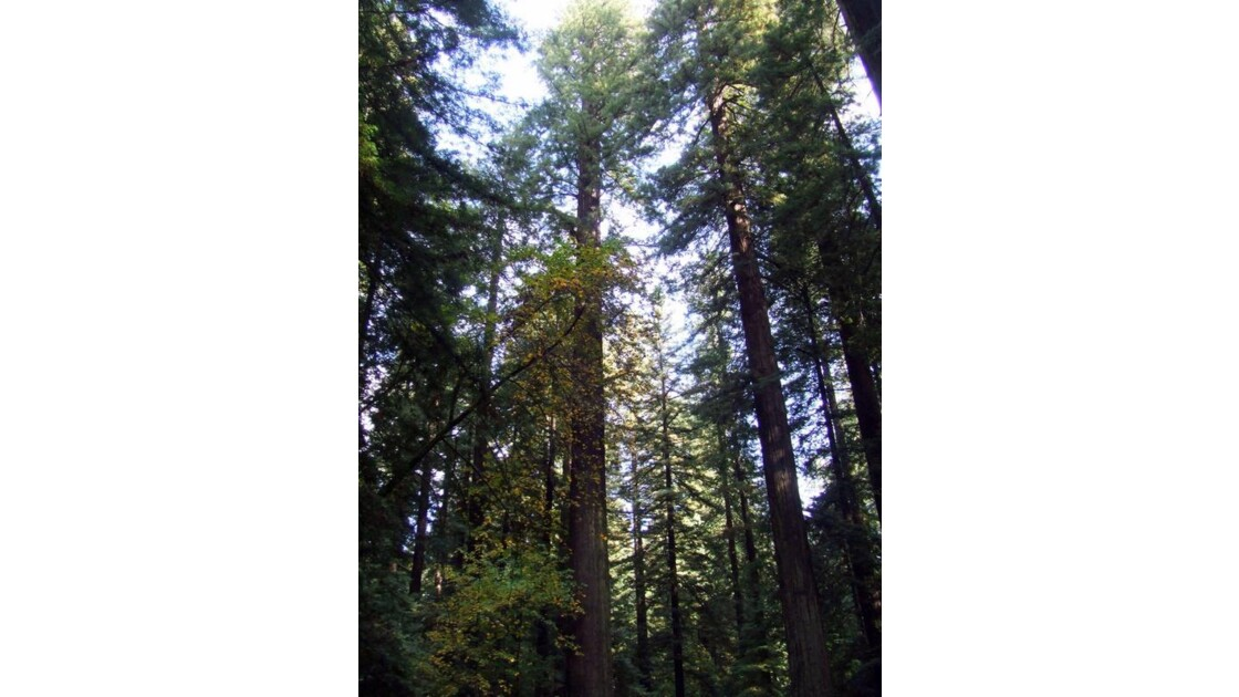 geant !!! voici les sequoias