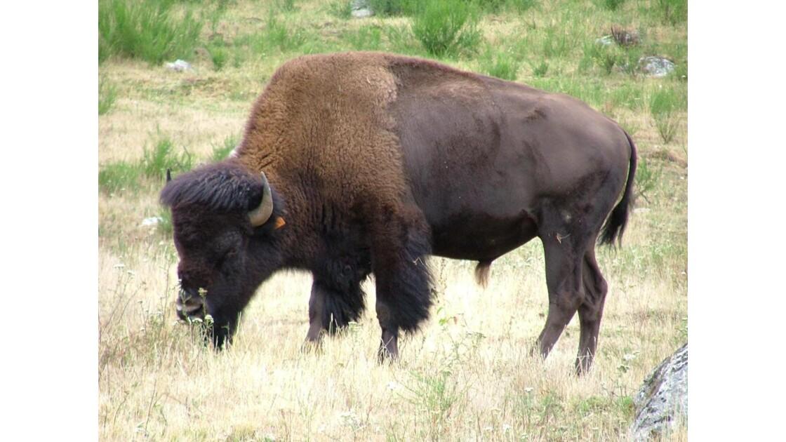 bison_americain.jpg