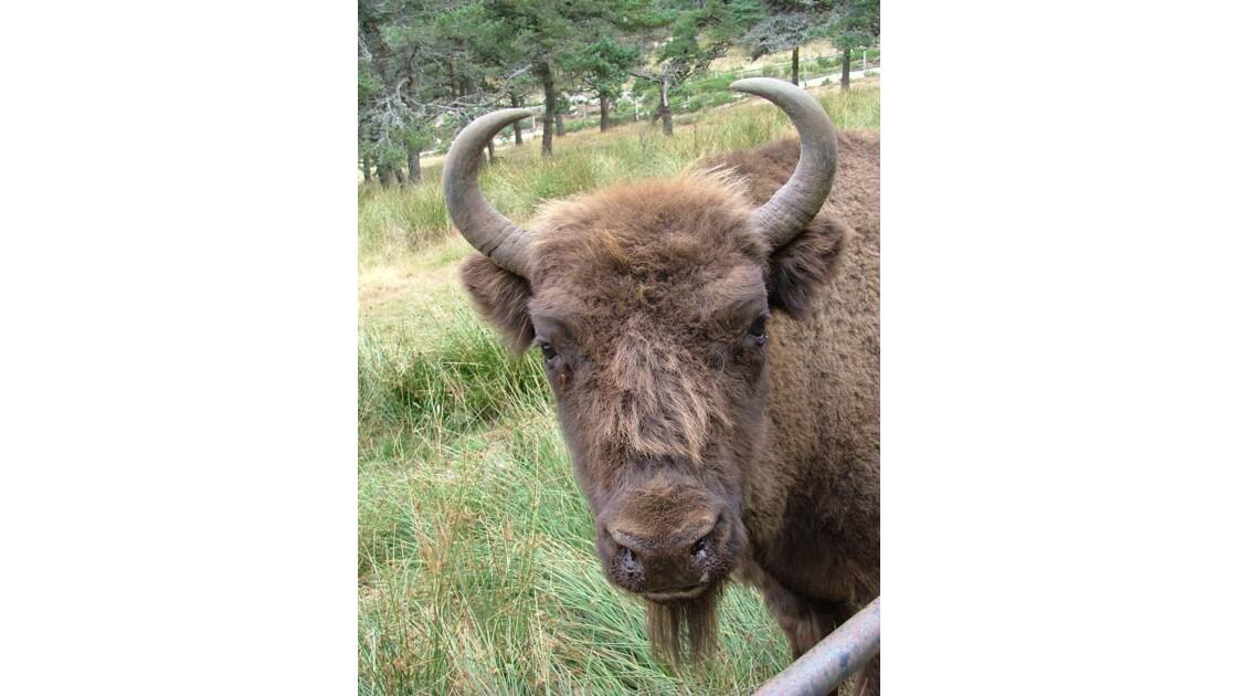 bison_d_europe.jpg