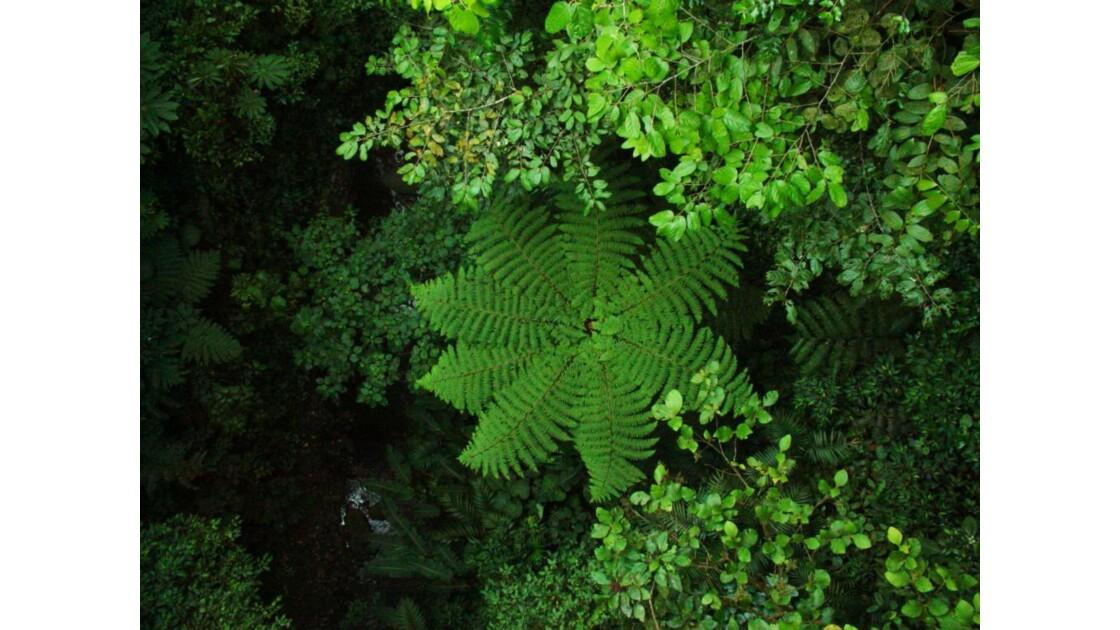 Rainforest et sa fougère geante