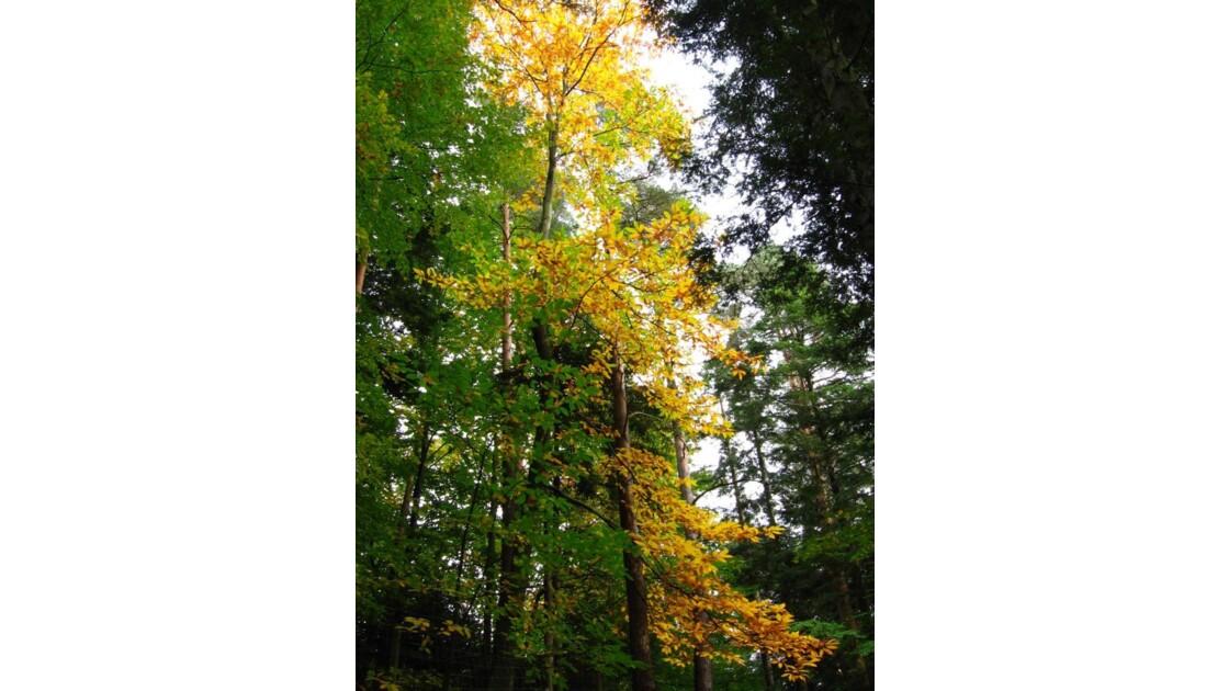 forêt de Wangenbourg