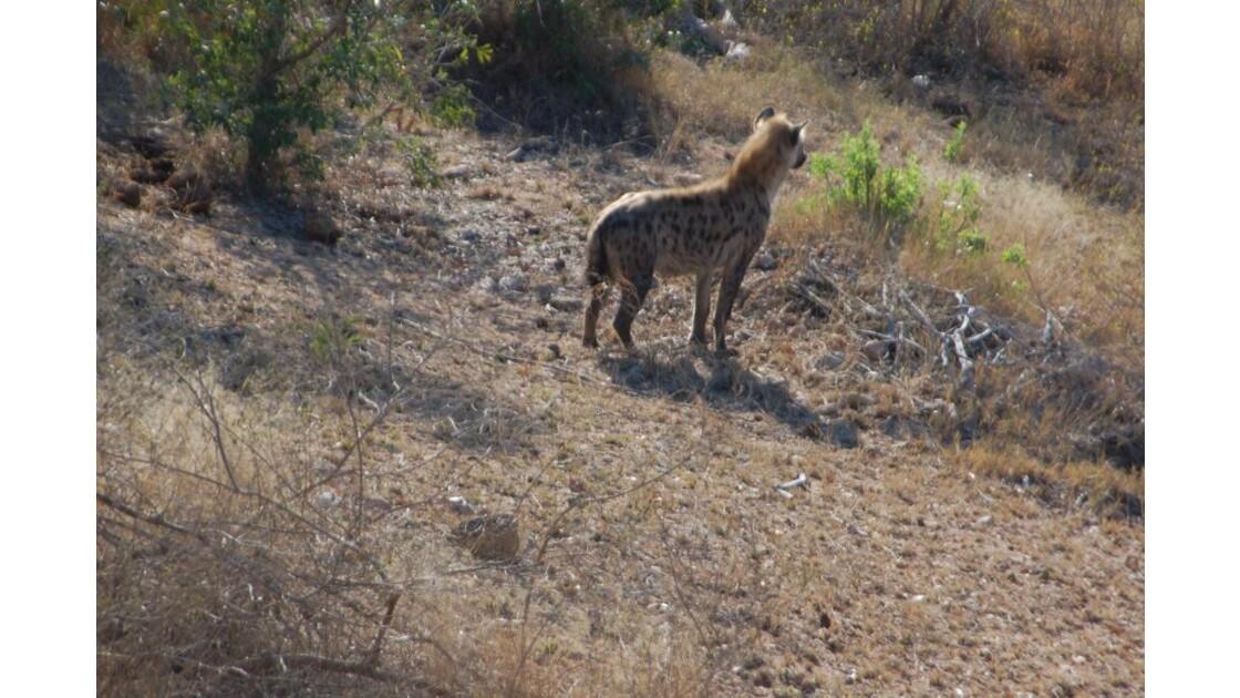 Hyène mâle