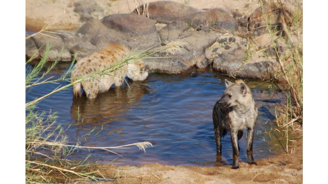 Couple de Hyènes