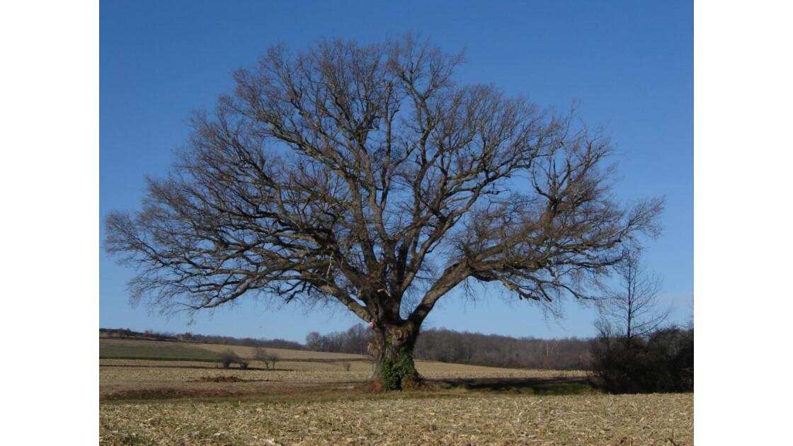 Le chêne de la Révolution