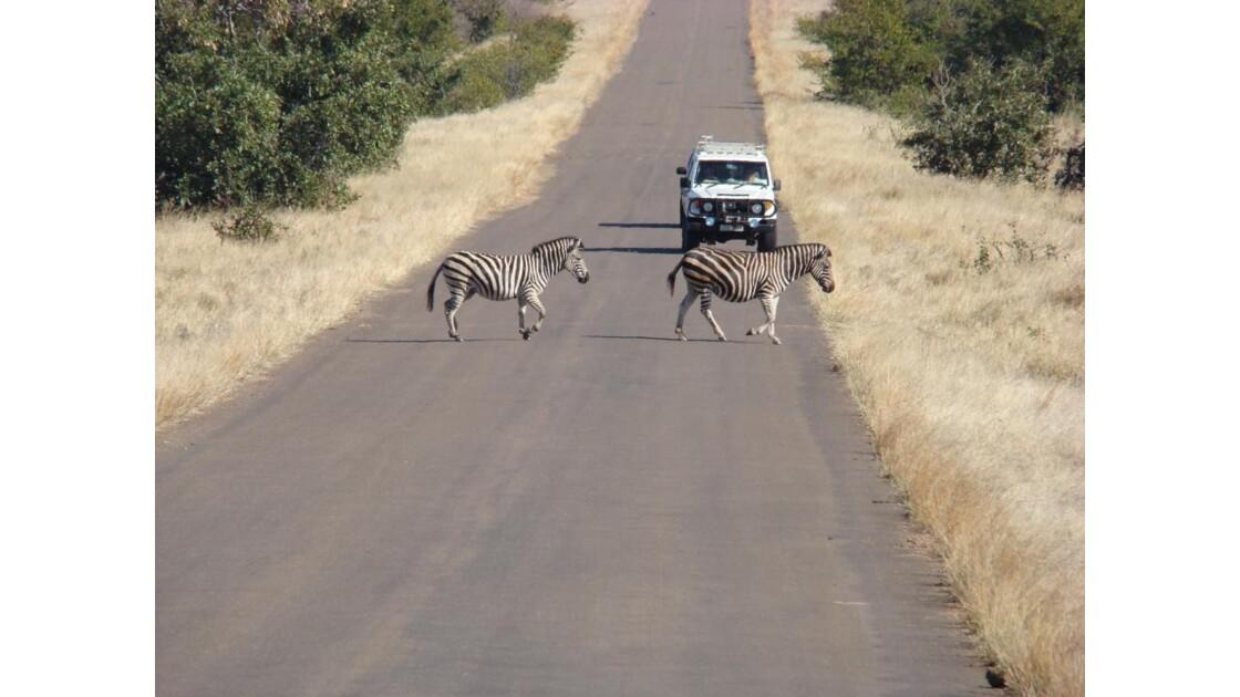 Zèbres au Kruger Park
