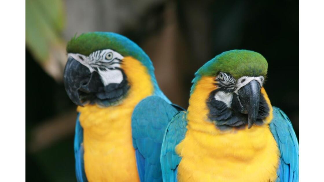 Pantanal Perroquet