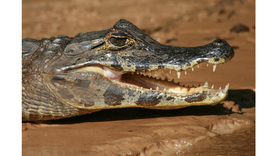 Pantanal Caiman