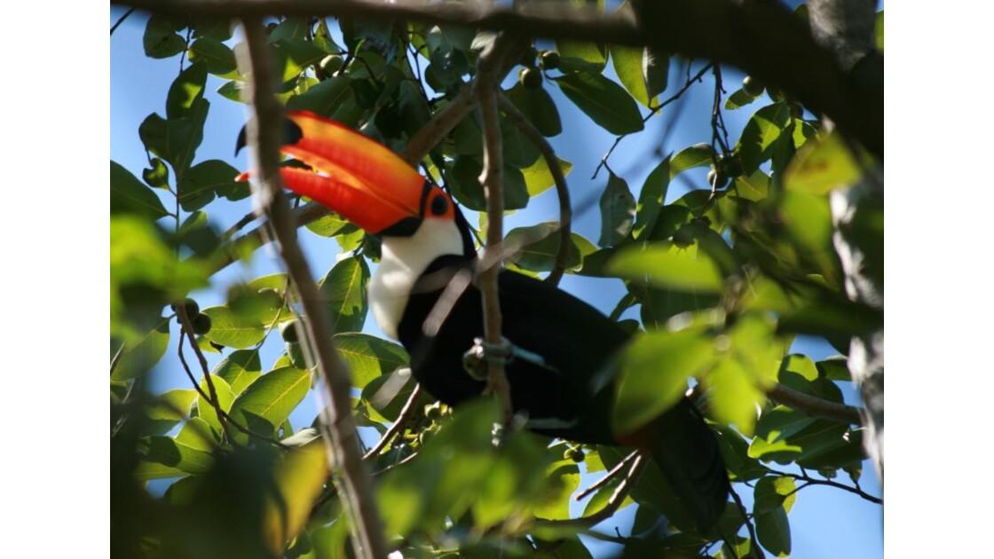 Pantanal Toucan