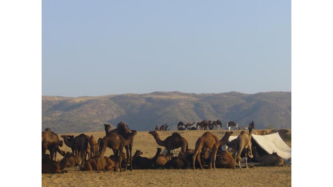 Foire aux chameaux - Pushkar.JPG