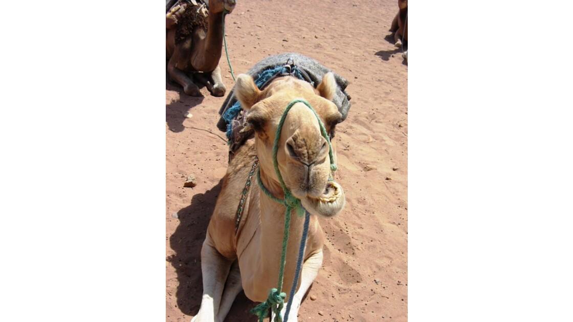 Drommadaire, Sahara, Maroc