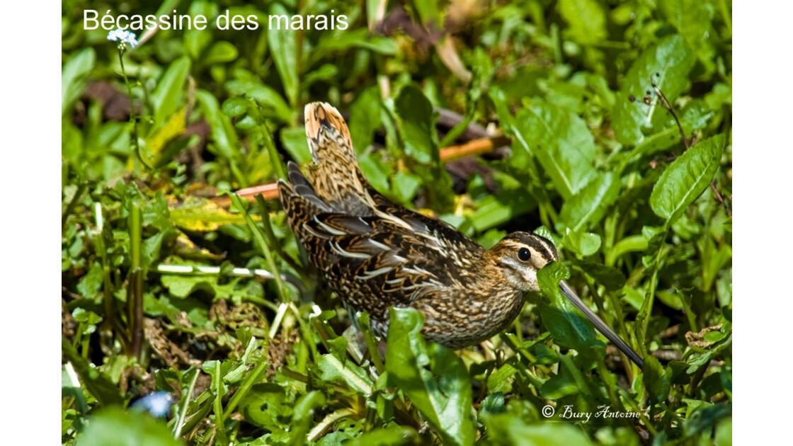 _DSC0101.jpg Bécassine