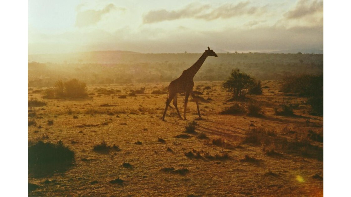 Girafe petit matin Mara