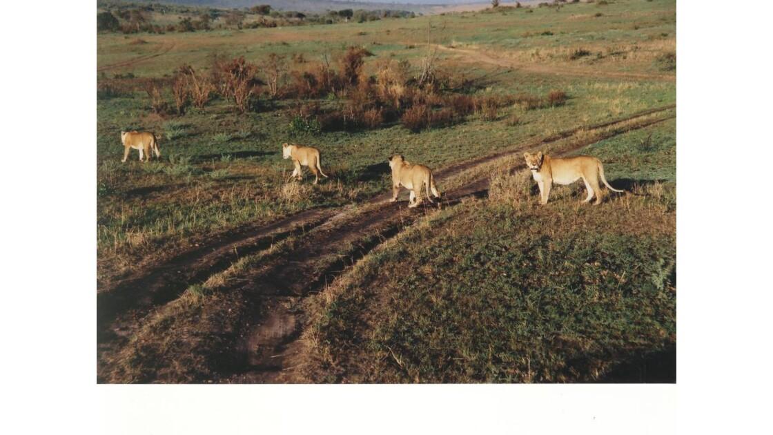 Lions en bande Masai Mara