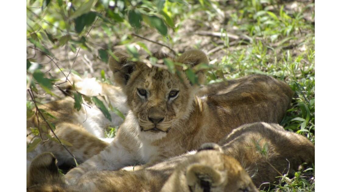 Lionceau Masai Mara
