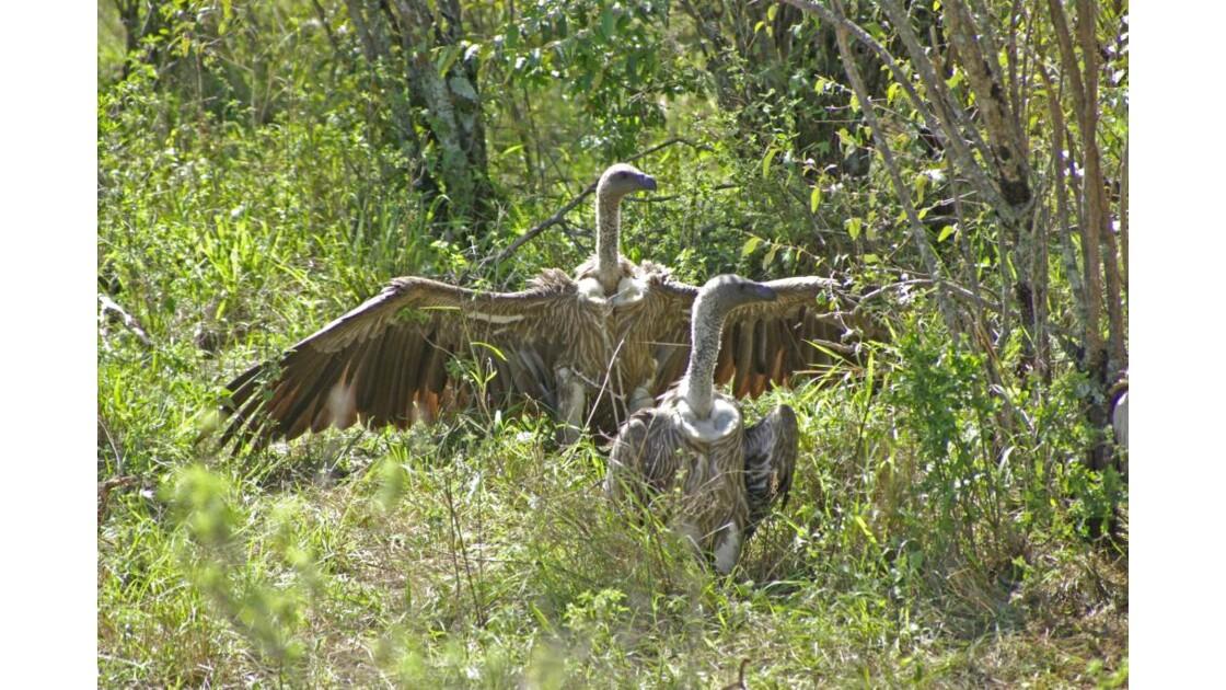 Vautours Masai Mara