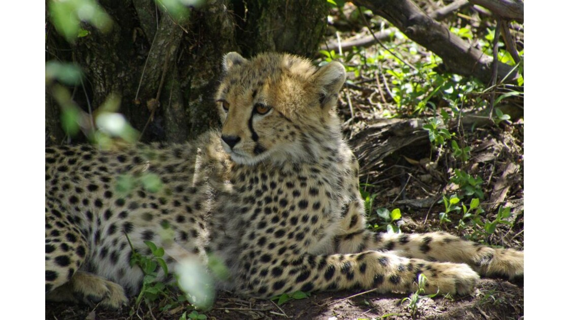 Guepard Masai Mara