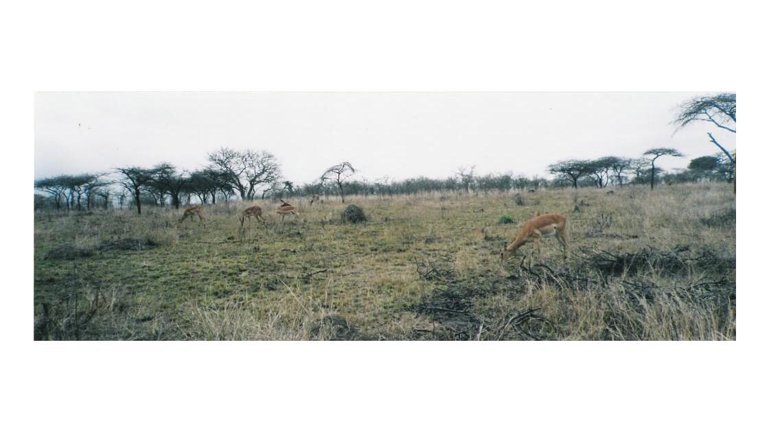 Des antilopes 2