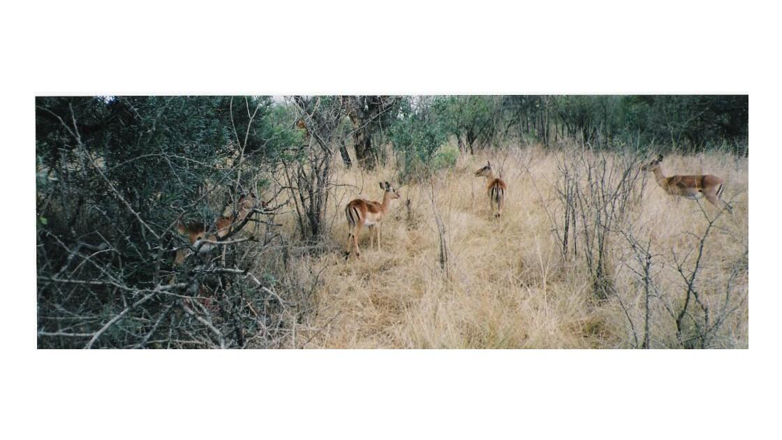Des antilopes 3