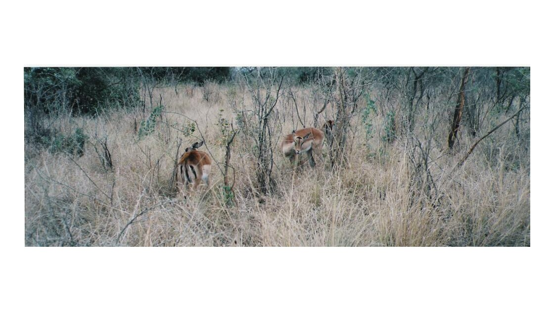 Des antilopes 4