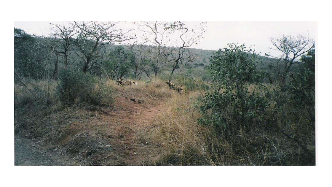 wild dogs ou Lichaon ( rares)