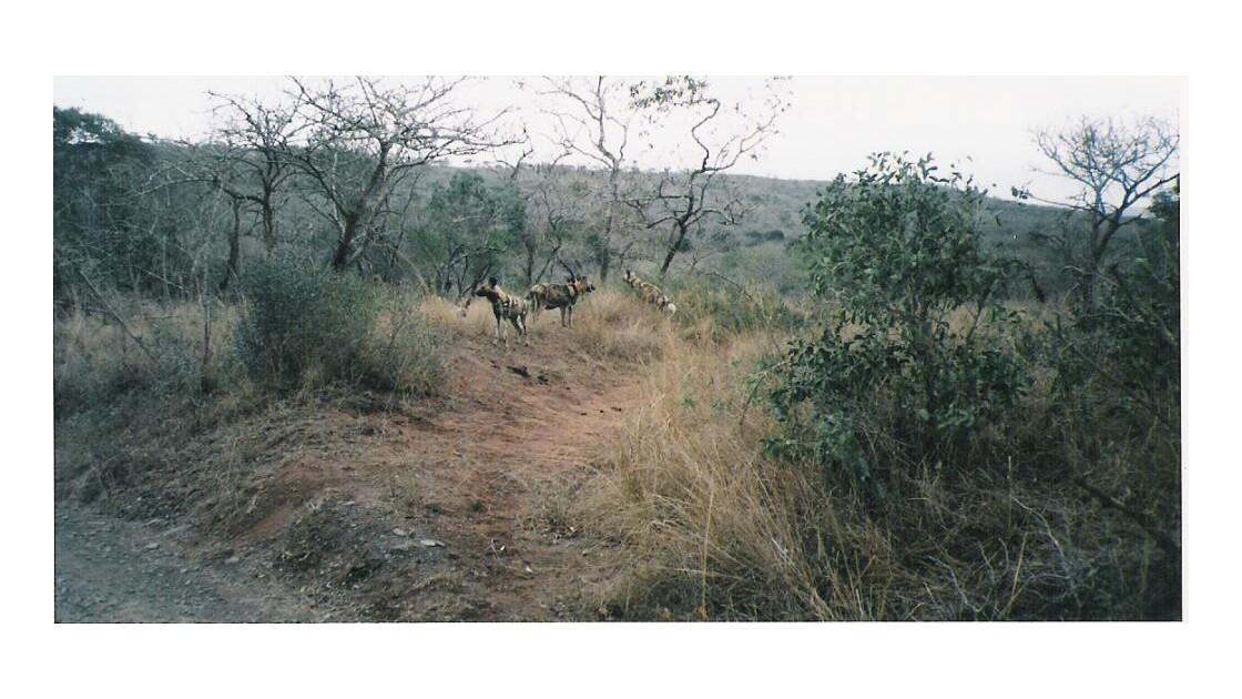 wild dogs ou Lcihaons 2 ( rares)