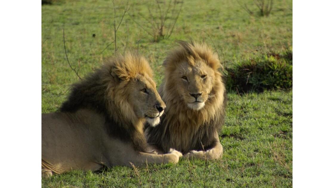 Lions Freres Masai Mara