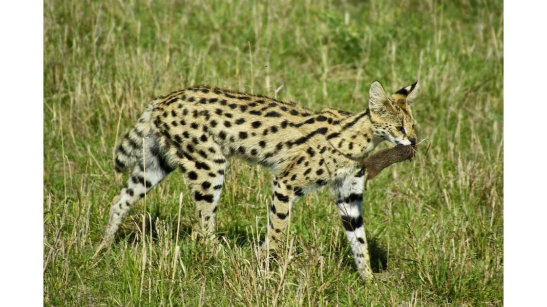 Serval Masai Mara