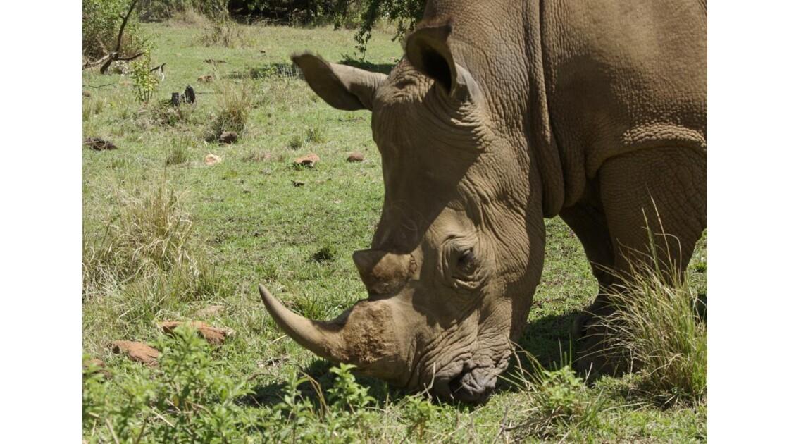 Rhino blanc Masai Mara