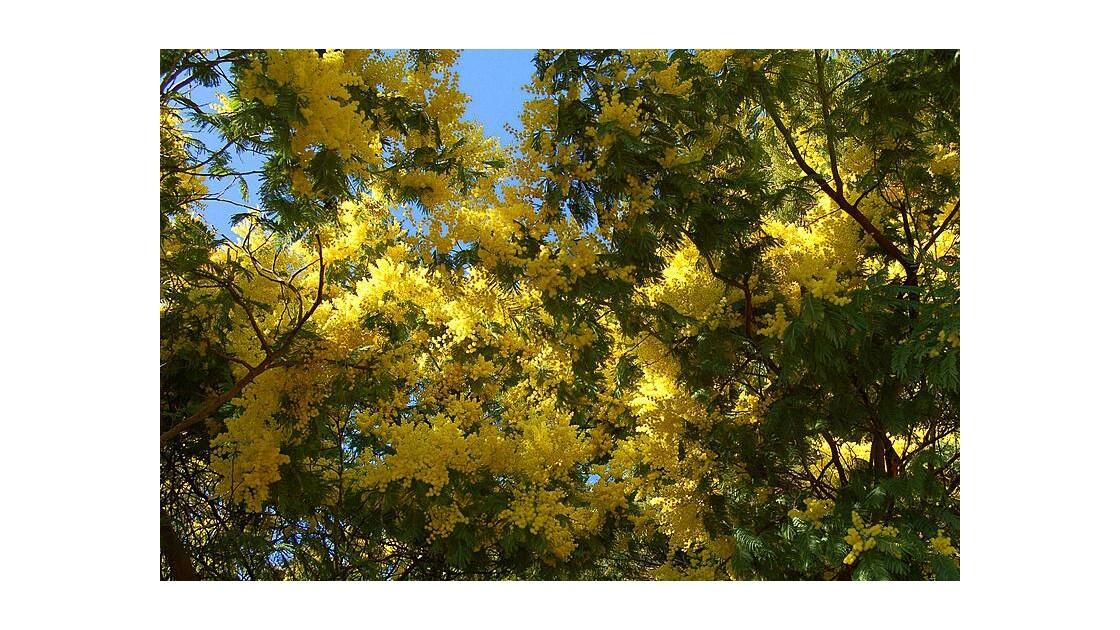 Mimosa sur l'Ile d'Aix