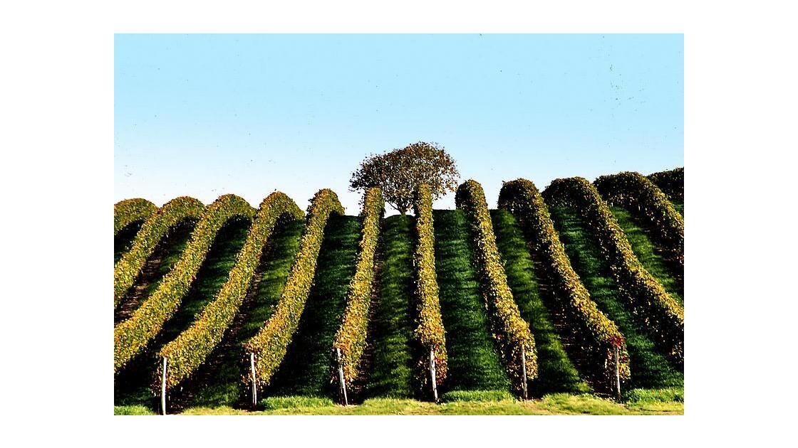 Vignes près de Royan